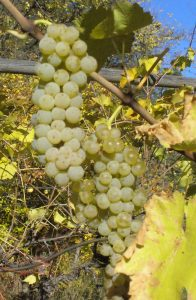 The most-planted grape in Germany in the 1970's.